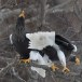 Stelllers zeearend -  Stellers sea eagle 02