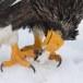 Stelllers zeearend -  Stellers sea eagle 05
