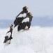 Stelllers zeearend -  Stellers sea eagle 06