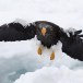 Stelllers zeearend -  Stellers sea eagle 07