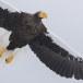 Stelllers zeearend -  Stellers sea eagle 08