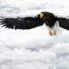 Stelllers zeearend -  Stellers sea eagle 12