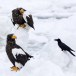 Stelllers zeearend -  Stellers sea eagle 16