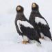 Stelllers zeearend -  Stellers sea eagle 17