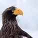 Stelllers zeearend -  Stellers sea eagle 18