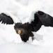 Stelllers zeearend -  Stellers sea eagle 19