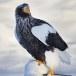 Stelllers zeearend -  Stellers sea eagle 28