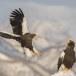 Stelllers zeearend -  Stellers sea eagle 29