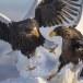 Stelllers zeearend -  Stellers sea eagle 31