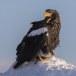 Stelllers zeearend -  Stellers sea eagle 32