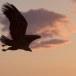 Stelllers zeearend -  Stellers sea eagle 43