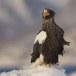Stelllers zeearend -  Stellers sea eagle 46