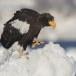 Stelllers zeearend -  Stellers sea eagle 51