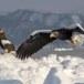 Stelllers zeearend -  Stellers sea eagle 53