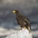 Stelllers zeearend -  Stellers sea eagle 55