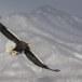 Stelllers zeearend -  Stellers sea eagle 62