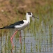 steltkluut-black-winged-stilt-01