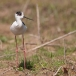 steltkluut-black-winged-stilt-02