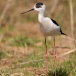steltkluut-black-winged-stilt-03