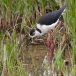 steltkluut-black-winged-stilt-04