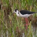 steltkluut-black-winged-stilt-05