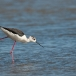 steltkluut-black-winged-stilt-06