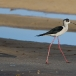 steltkluut-black-winged-stilt-07