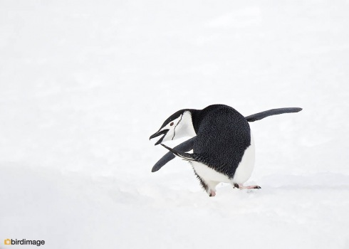 Kinbandpinguin_Chinstrap penguin 16