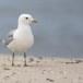 Stormmeeuw-Common-Gull-08