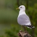 stormmeeuw-common-gull-01