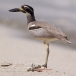 strandgriel-beach-thick-knee-01