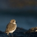 strandplevier-kentish-plover-06