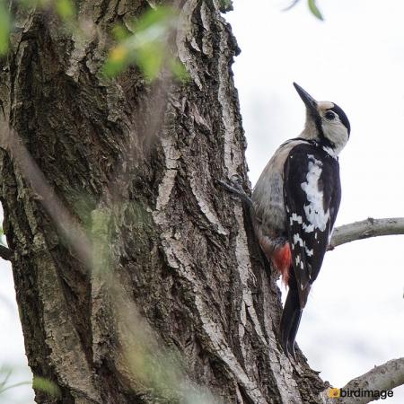 Syrische bonte specht - Syrian woodpecker 02