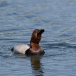 tafeleend-common-pochard-03