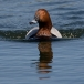 tafeleend-common-pochard-04