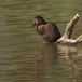 tafeleend-common-pochard-08