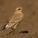 tapuit-northern-wheatear-04