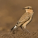 tapuit-northern-wheatear-05