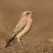 tapuit-northern-wheatear-06