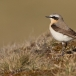 tapuit-northern-wheatear-07