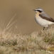 tapuit-northern-wheatear-08