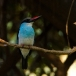 teugelijsvogel-blue-breasted-kingfisher-01