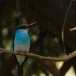 teugelijsvogel-blue-breasted-kingfisher-02