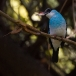 teugelijsvogel-blue-breasted-kingfisher-03
