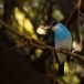 teugelijsvogel-blue-breasted-kingfisher-04