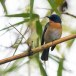 Tickells-niltava-Tickells-blue-flycatcher-01