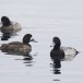 Topper -  Greater scaup 02
