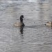 Topper -  Greater scaup 06