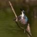 torkooisijsvogel-celulean-kingfisher-01