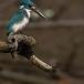 torkooisijsvogel-celulean-kingfisher-02